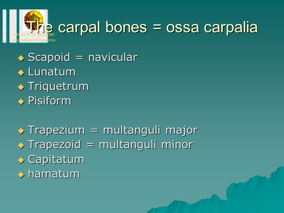 The carpal bones = ossa carpalia