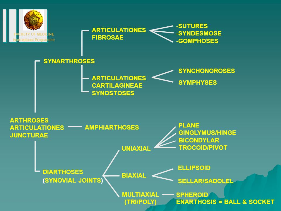 SUTURES SYNDESMOSE. GOMPHOSES. ARTICULATIONES. FIBROSAE. SYNARTHROSES. SYNCHONOROSES. ARTICULATIONES.