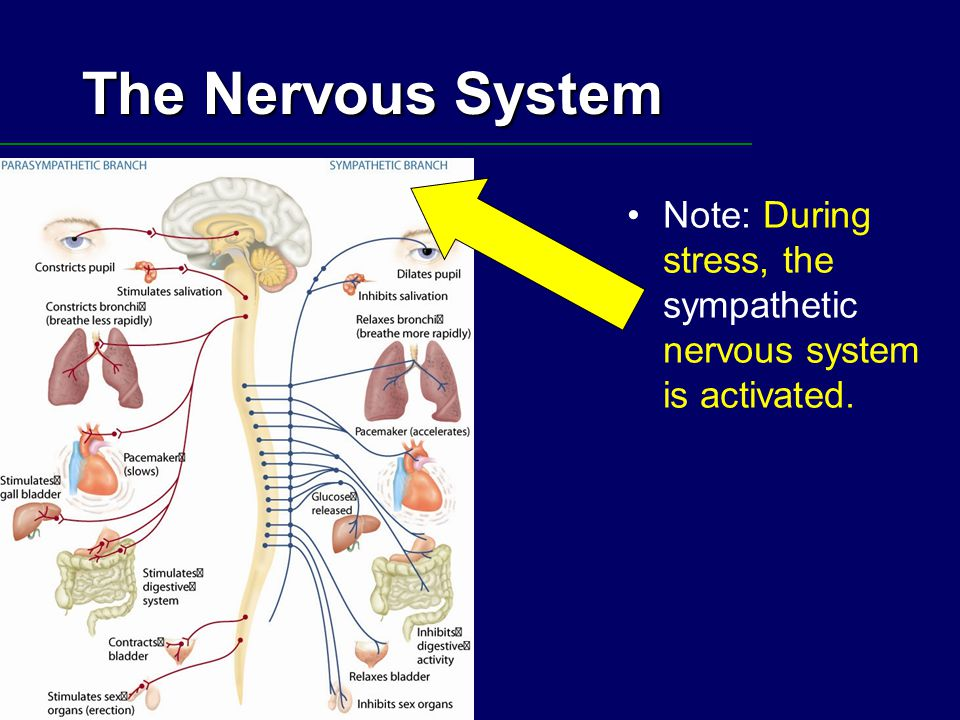 The Nervous System Note: During stress, the sympathetic nervous system is activated.