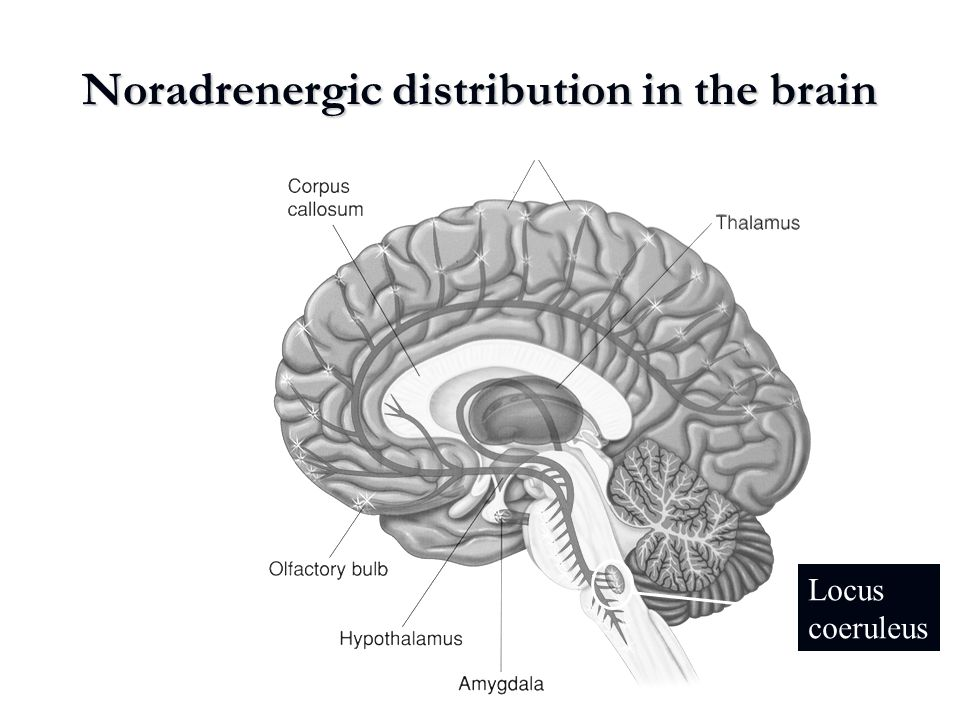 Noradrenergic distribution in the brain