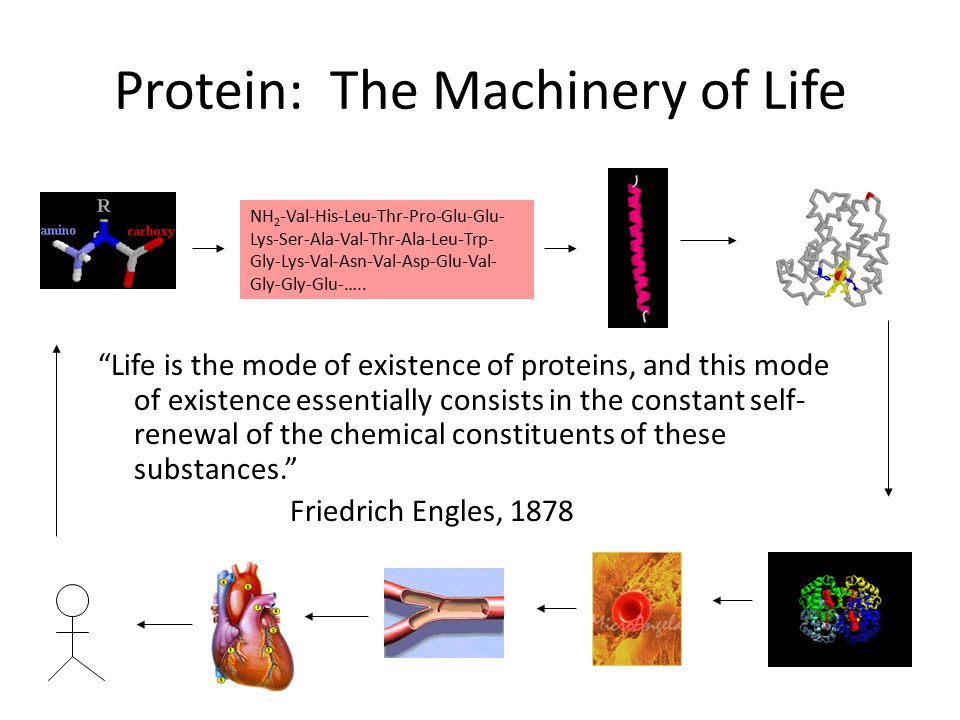 Protein: The Machinery of Life