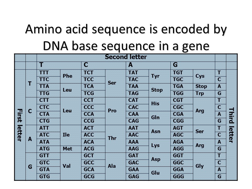 Amino acid sequence is encoded by DNA base sequence in a gene
