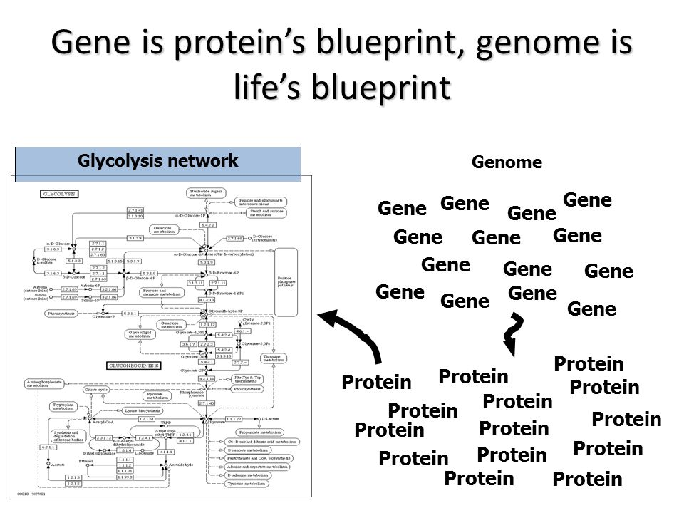 Gene is protein's blueprint, genome is life's blueprint