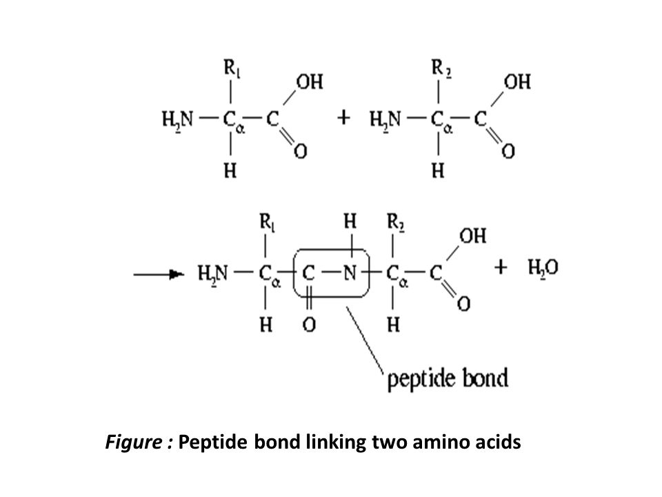Figure : Peptide bond linking two amino acids