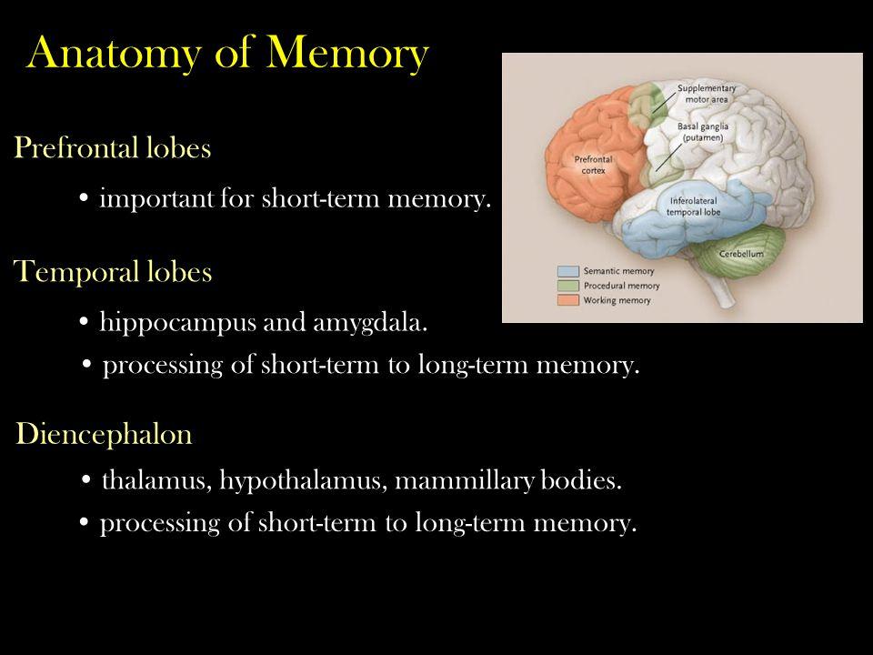 Anatomy of Memory Prefrontal lobes Temporal lobes Diencephalon