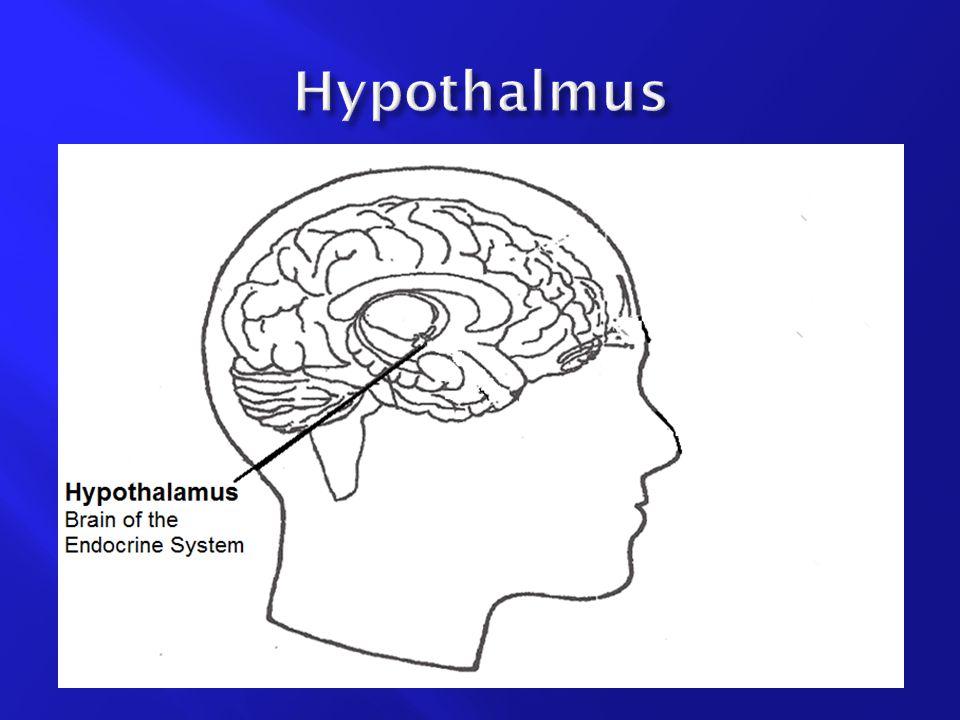 Hypothalmus