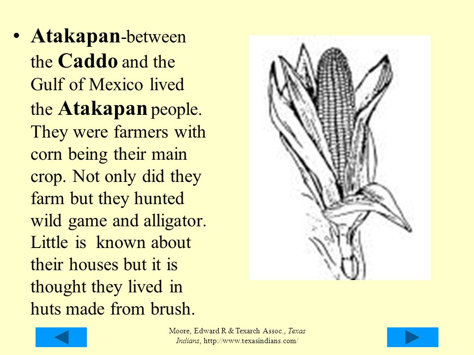 Atakapan-between the Caddo and the Gulf of Mexico lived the Atakapan people. They were farmers with corn being their main crop. Not only did they farm but they hunted wild game and alligator. Little is known about their houses but it is thought they lived in huts made from brush.