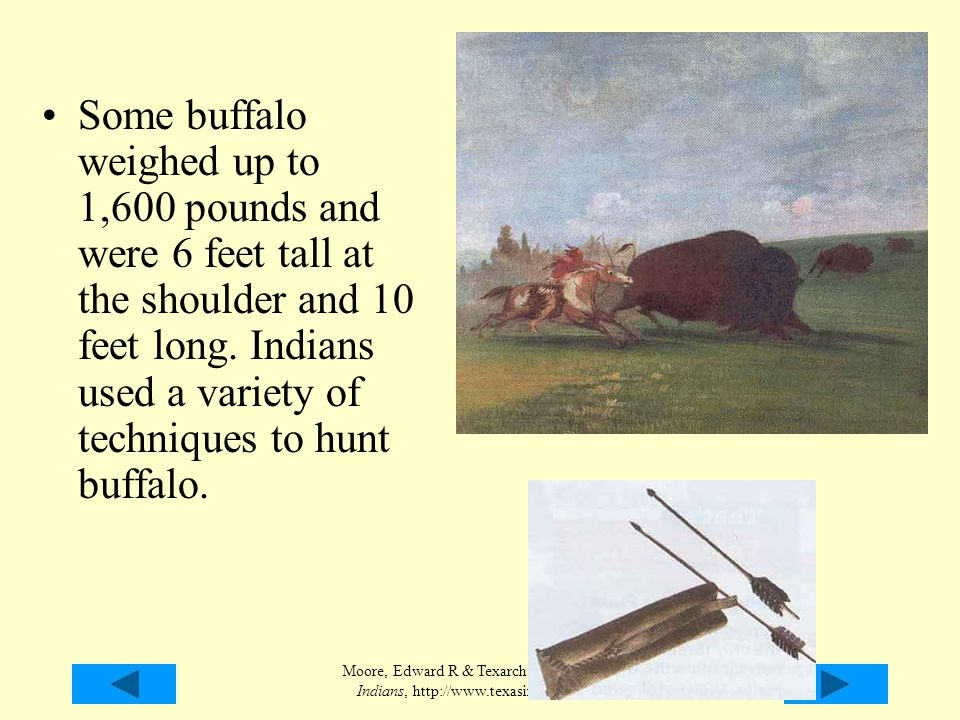Some buffalo weighed up to 1,600 pounds and were 6 feet tall at the shoulder and 10 feet long. Indians used a variety of techniques to hunt buffalo.