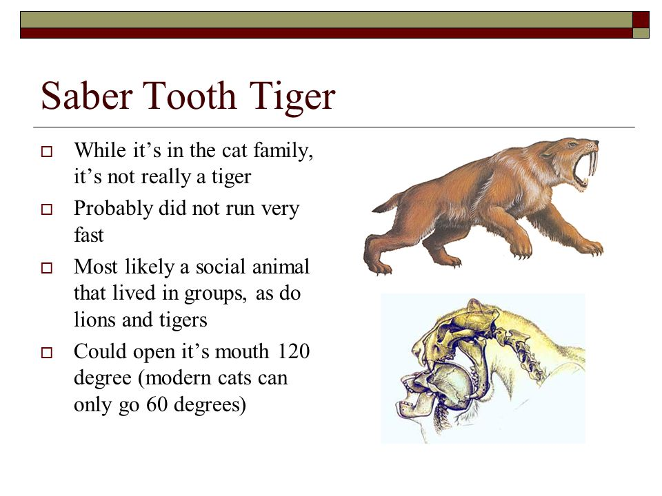 Saber Tooth Tiger While it's in the cat family, it's not really a tiger. Probably did not run very fast.