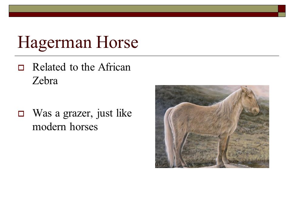 Hagerman Horse Related to the African Zebra