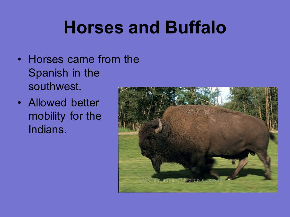 Horses and Buffalo Horses came from the Spanish in the southwest.