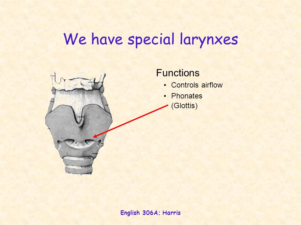 We have special larynxes