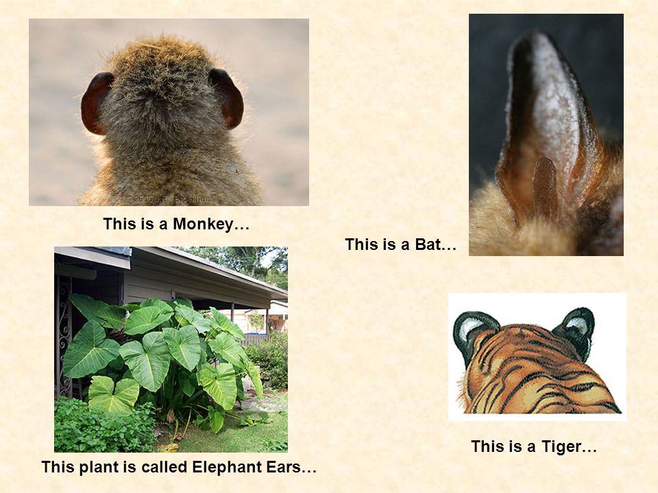 This is a Monkey… This is a Bat… This is a Tiger… This plant is called Elephant Ears…