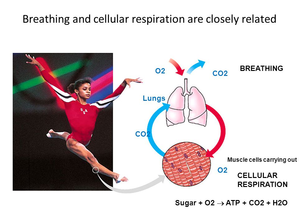 Breathing and cellular respiration are closely related