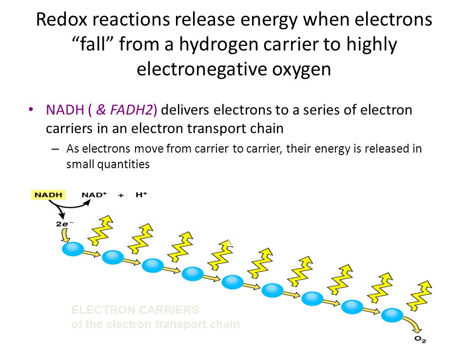 Redox reactions release energy when electrons fall from a hydrogen carrier to highly electronegative oxygen
