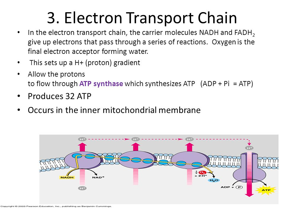 3. Electron Transport Chain
