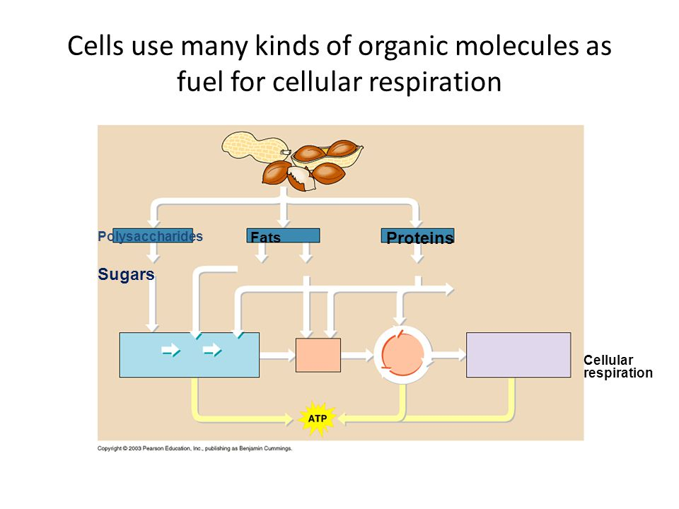 Cells use many kinds of organic molecules as fuel for cellular respiration
