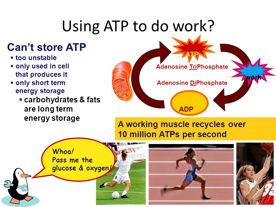 Using ATP to do work Can't store ATP