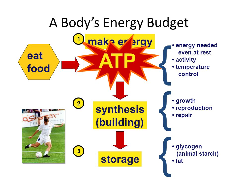 { { { ATP A Body's Energy Budget make energy eat food synthesis