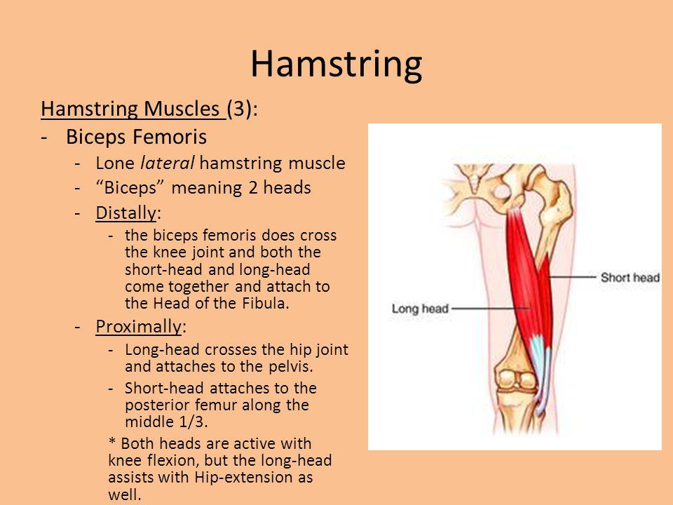Hamstring Hamstring Muscles (3): Biceps Femoris