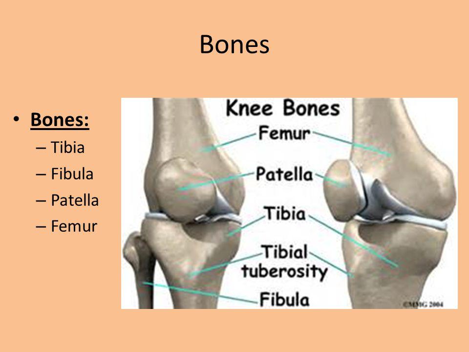 Bones Bones: Tibia Fibula Patella Femur
