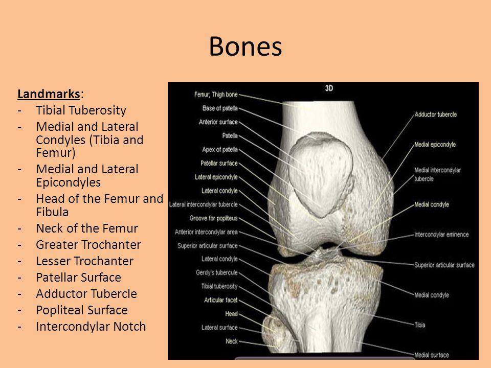 Bones Landmarks: Tibial Tuberosity