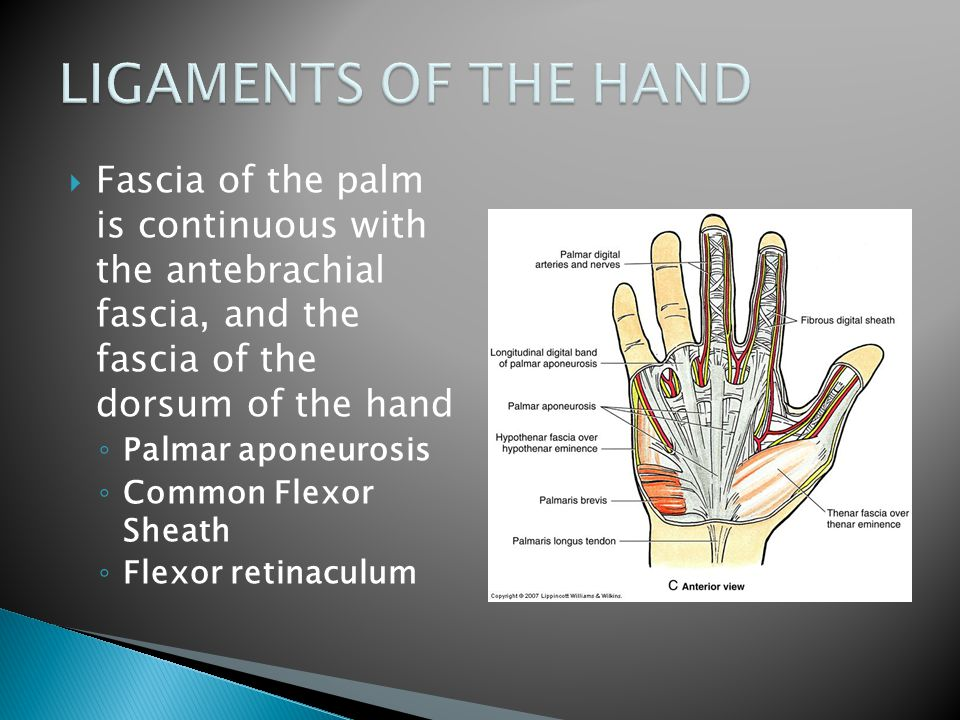 LIGAMENTS OF THE HAND Fascia of the palm is continuous with the antebrachial fascia, and the fascia of the dorsum of the hand.