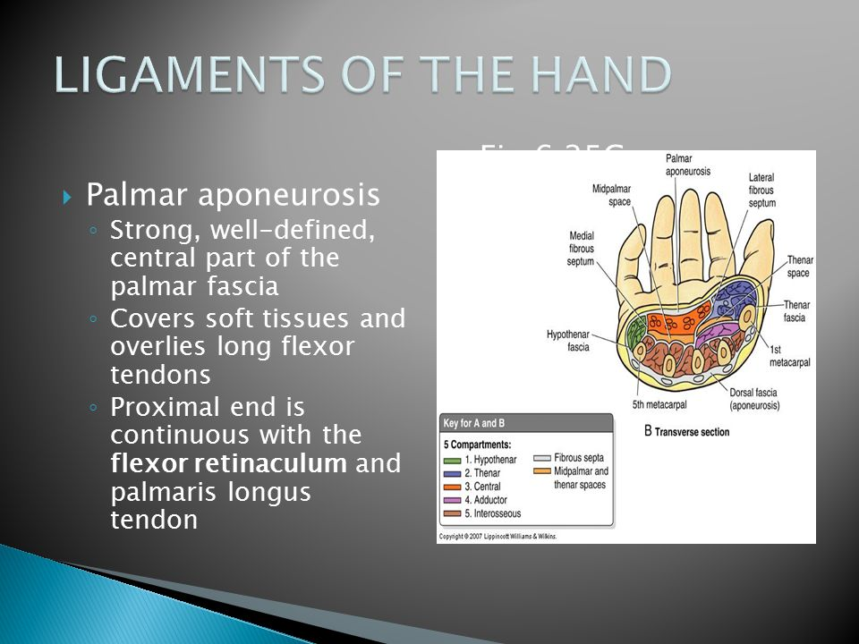 LIGAMENTS OF THE HAND Fig 6.25C Palmar aponeurosis