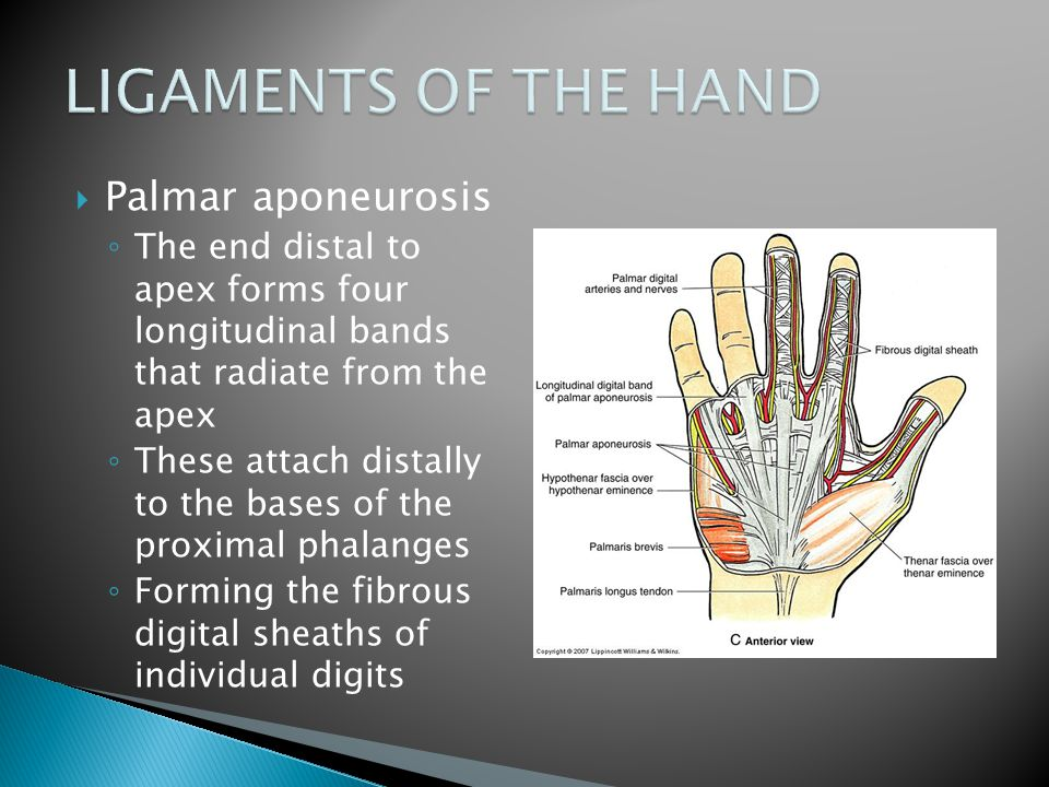 LIGAMENTS OF THE HAND Palmar aponeurosis