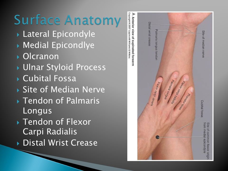 Surface Anatomy Lateral Epicondyle Medial Epicondlye Olcranon