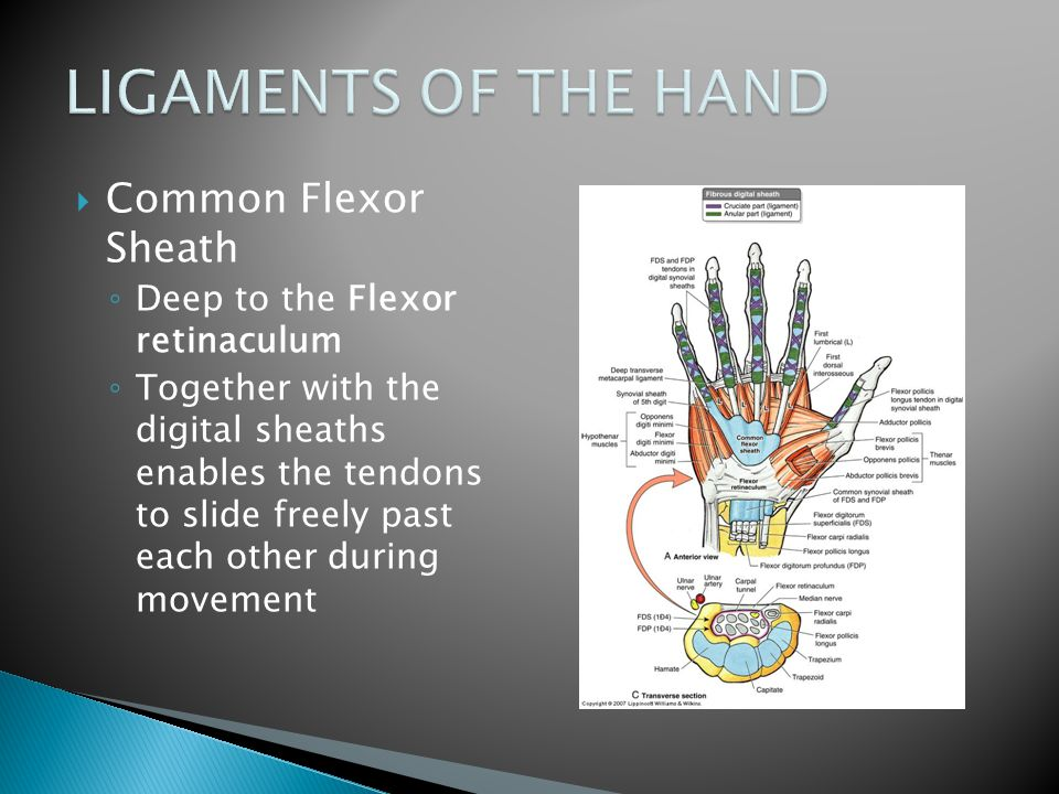 LIGAMENTS OF THE HAND Common Flexor Sheath