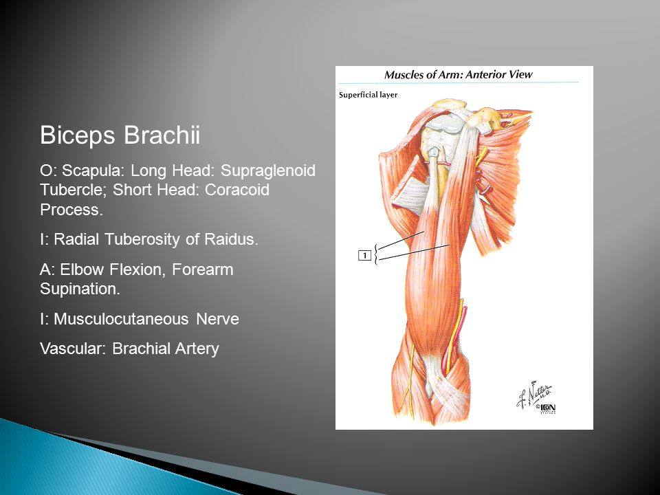 Biceps Brachii O: Scapula: Long Head: Supraglenoid Tubercle; Short Head: Coracoid Process. I: Radial Tuberosity of Raidus.
