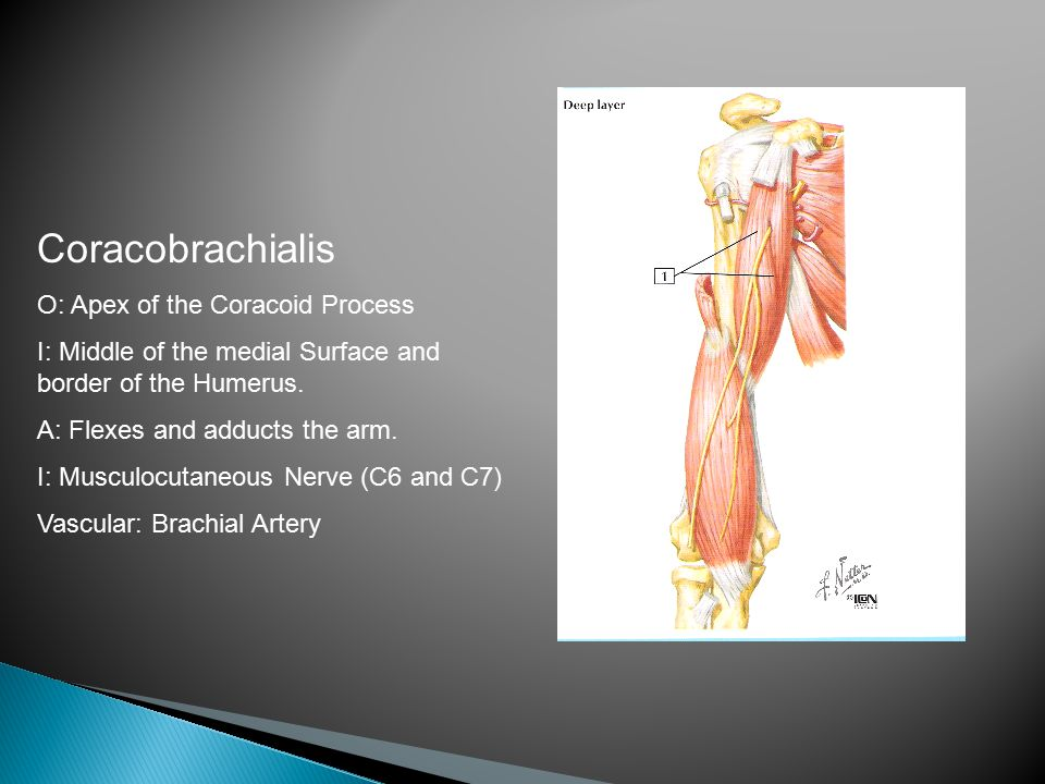 Coracobrachialis O: Apex of the Coracoid Process