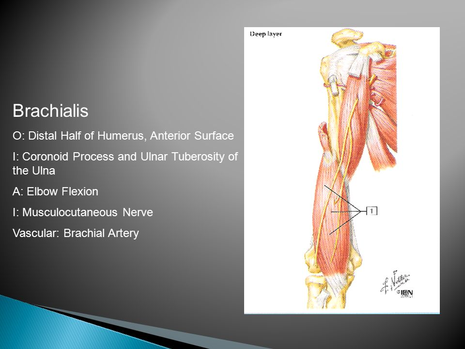 Brachialis O: Distal Half of Humerus, Anterior Surface