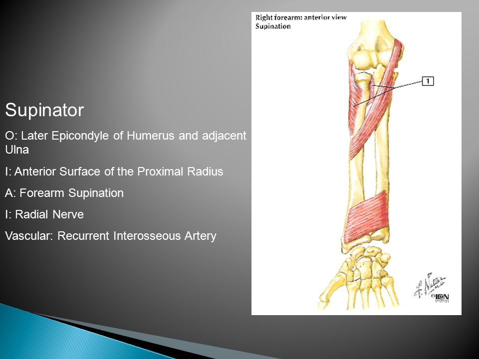 Supinator O: Later Epicondyle of Humerus and adjacent Ulna