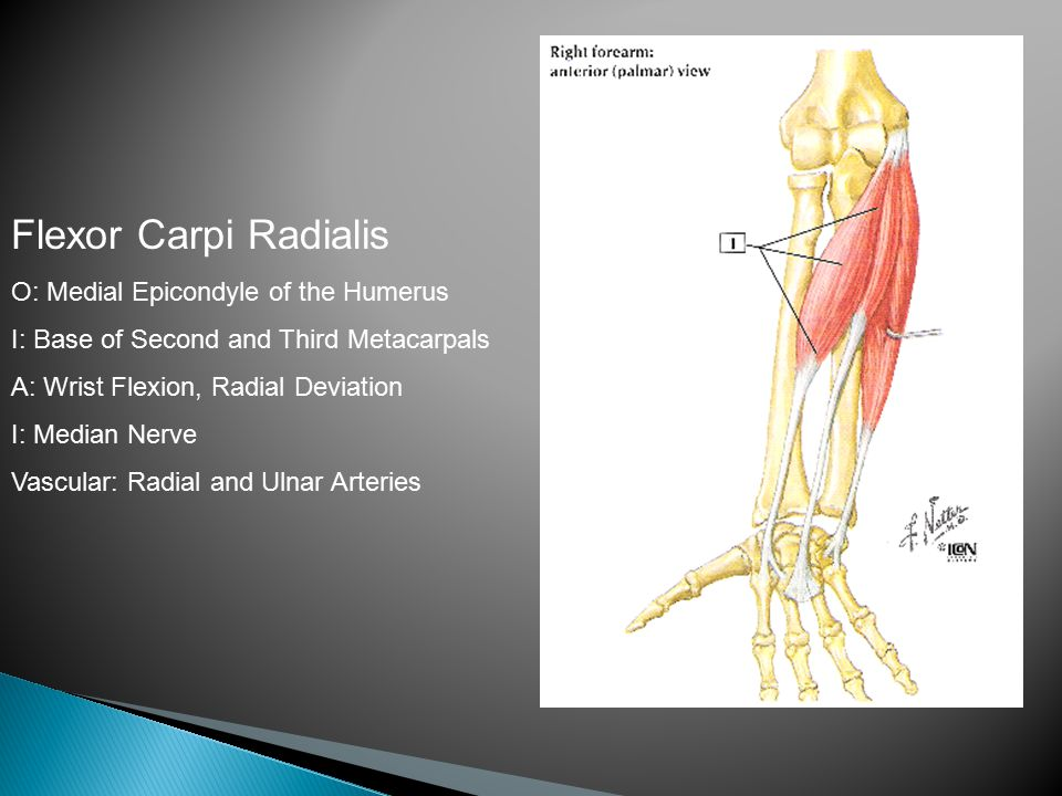 Flexor Carpi Radialis O: Medial Epicondyle of the Humerus