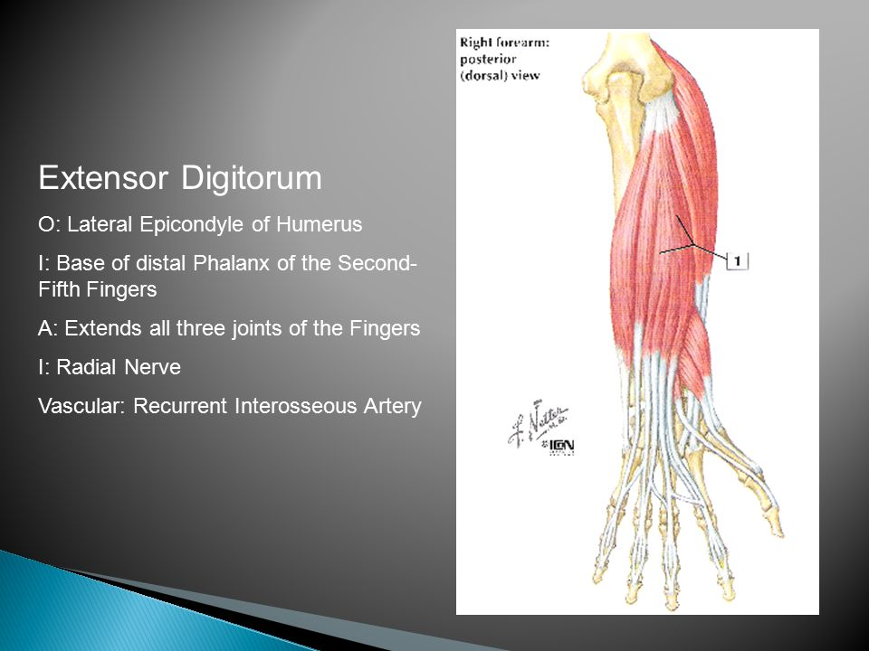 Extensor Digitorum O: Lateral Epicondyle of Humerus