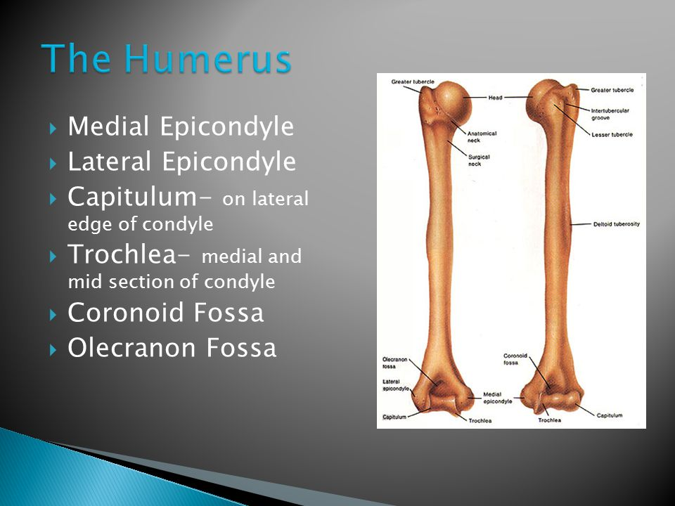 The Humerus Medial Epicondyle Lateral Epicondyle
