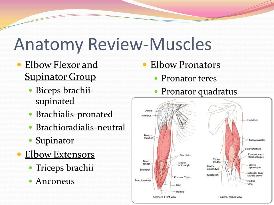 Anatomy Review-Muscles