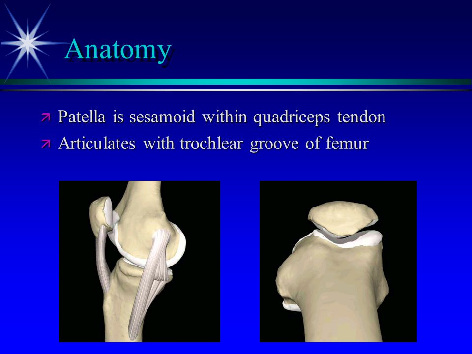 Anatomy Patella is sesamoid within quadriceps tendon