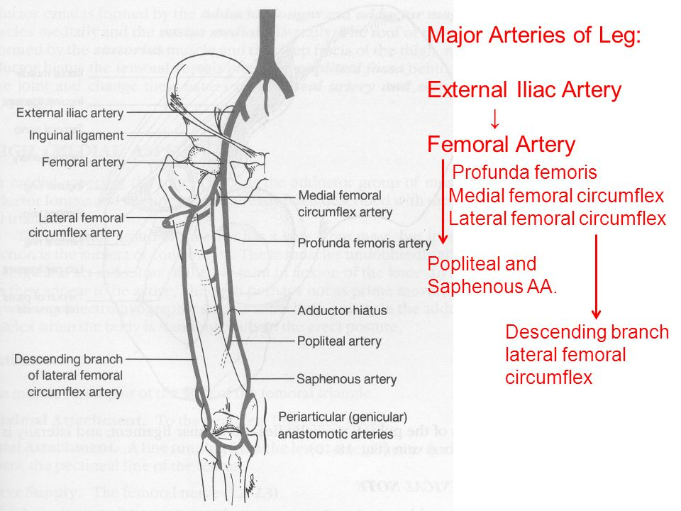 Major Arteries of Leg: External Iliac Artery ↓ Femoral Artery