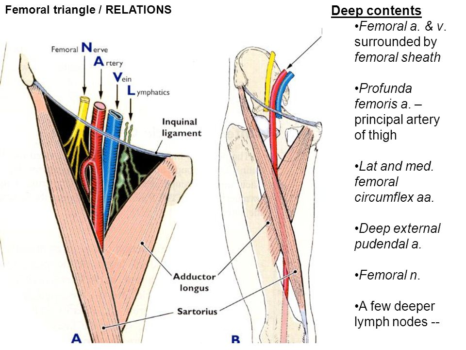 Femoral a. & v. surrounded by femoral sheath
