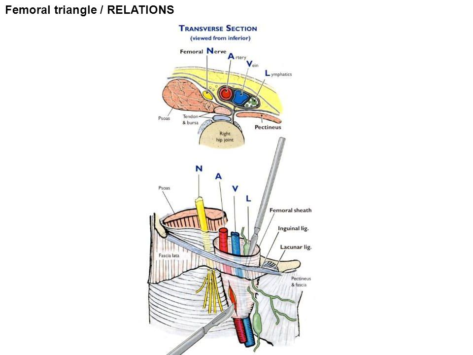 Femoral triangle / RELATIONS
