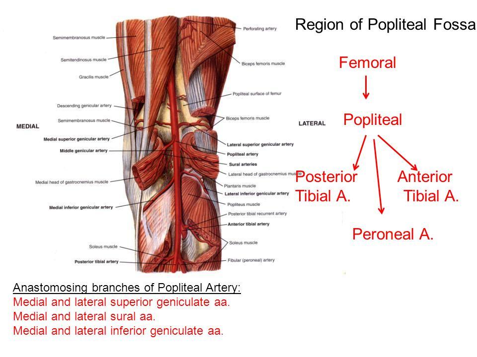 Region of Popliteal Fossa Femoral