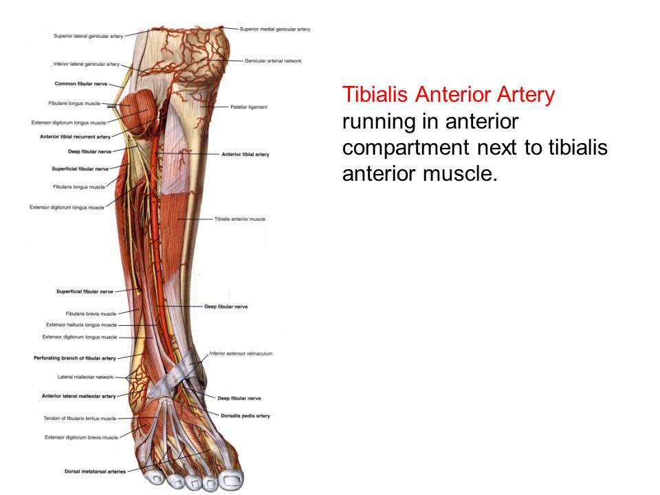 Anterior Tibial Artery Choice Image - human anatomy organs diagram