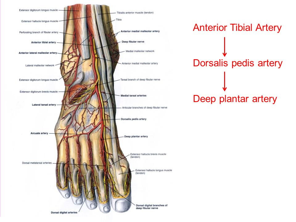 peripheral circulation ppt video online download