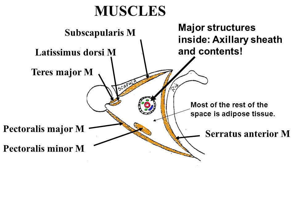 MUSCLES Major structures inside: Axillary sheath and contents!