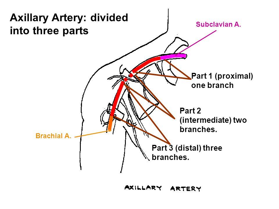 Axillary Artery: divided into three parts
