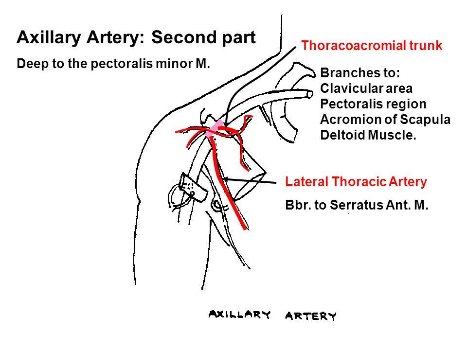 Axillary Artery: Second part