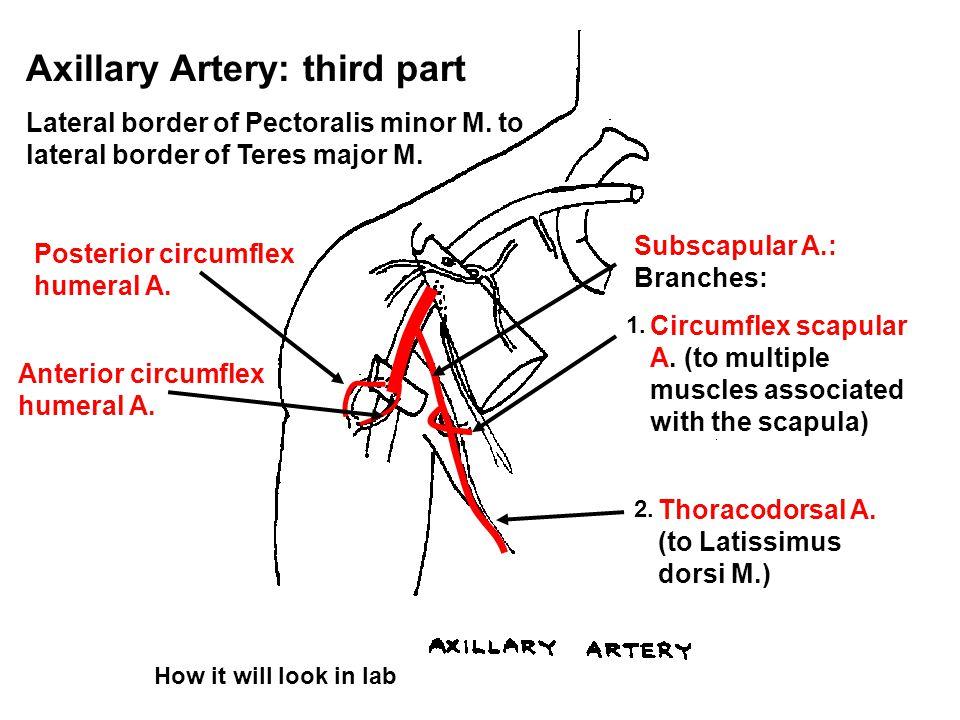 Axillary Artery: third part